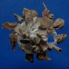 B782-32854 Seashell Xenophora pallidula
