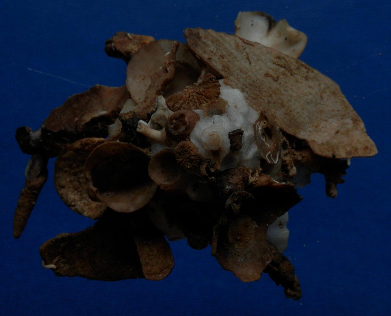 B783-32860 Seashell Xenophora pallidula