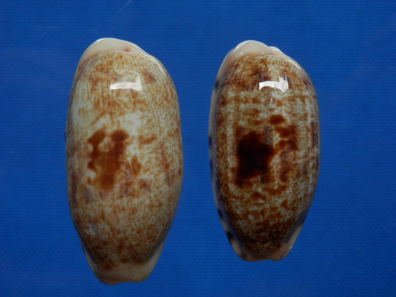 B783-2884 Seashell Cypraea teres