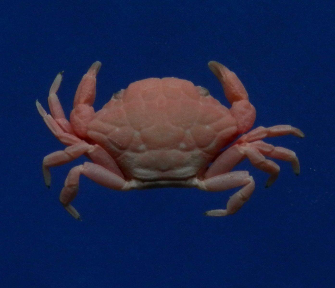 B783-32887 Round crab - Liomera aff. tristis