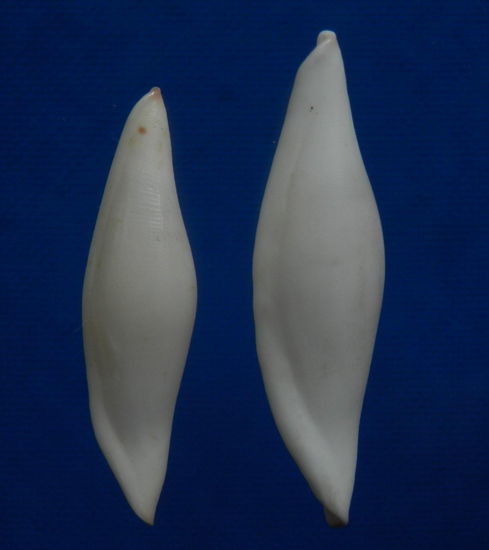 33825 Seashell Pellasimnia improcera, 2 pcs, 26.9 - 30.1 mm