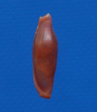 B784-33771 Seashell Crenavolva leopardus