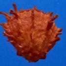 B785-33919 Seashell Spondylus sinensis ,ORANGE