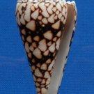 90302 Seashell Conus bandanus, 70.4 mm