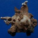 B789-34724 Seashell Xenophora pallidula