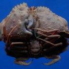 B792-35321 Box crab - Calappa undulata Dai and Yang, 1991