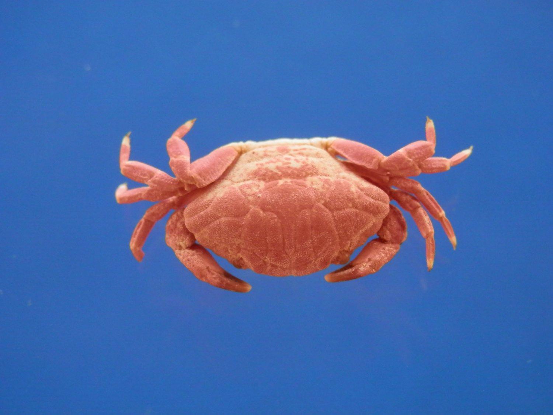 B794-35755 Round crab - Liomera aff. tristis Dana, 1852