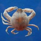 B797-36537 Peeble crab - Leucosia perlata de Haan, 1841