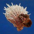 B800-37384 Seashell Spondylus albibarbatus, 97.8 mm