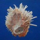 B800-37396 Seashell Spondylus echinatus, 92.8 mm