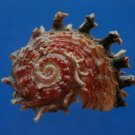 B805-41239 Seashell Angaria poppei, 37.6 mm