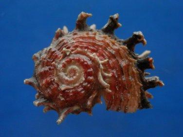 B805-41239 Seashell Angaria poppei, 37.6 mm