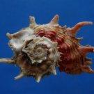 B807-41255 Seashell Angaria poppei, 42 mm