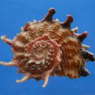 B807-41257 Seashell Angaria poppei, 42.3 mm