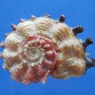 B807-41256 Seashell Angaria poppei, 35 mm