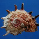 B807-41258 Seashell Angaria poppei, 42 mm