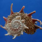 B807-41287 Seashell Angaria poppei, 46.2 mm