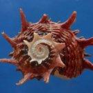 B807-41293 Seashell Angaria poppei, 42.9 mm