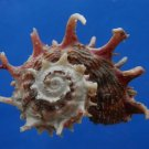 B807-41294 Seashell Angaria poppei, 42.9 mm