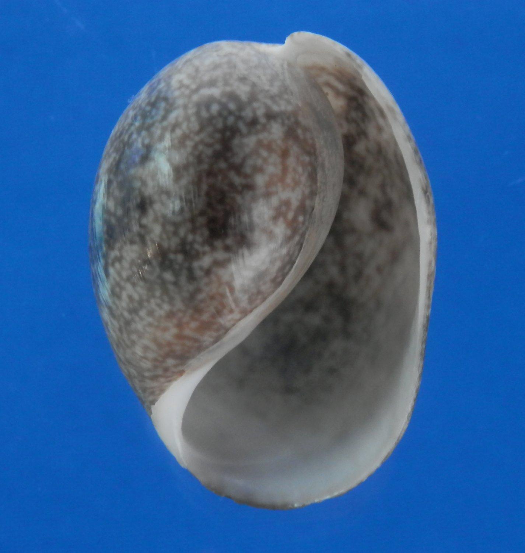 B779-50960 Seashell Bulla ampulla,50.2 mm