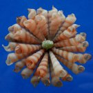 B535 Craft shells Sailors Valentine - Small Turritella terebra, 1/2 oz,