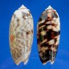 B781-52196 Oliva (Miniaceoliva) miniacea f. johnsoni, 2 pcs.