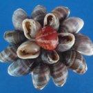 B522 Craft shells - Cassidula crassiuscula, 1 lb. FREE SHIPPING
