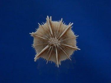 B781-52706 Marine life- Stephanocyathus spiniger, 48.3mm,