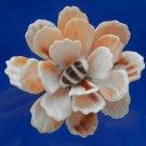 B687 Sailors Valentine Cut shells- Bractechlamys vexillum-07, 1 oz
