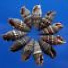 B514 Craft shells - Tiny Vexillum shells, 25 pcs.