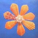 B693 Cut shells- Mimachlamys sanguinea-53, 12 pcs.