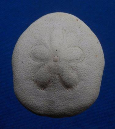 B343-63107 Sea Urchin Clypeaster virescens, 42 mm