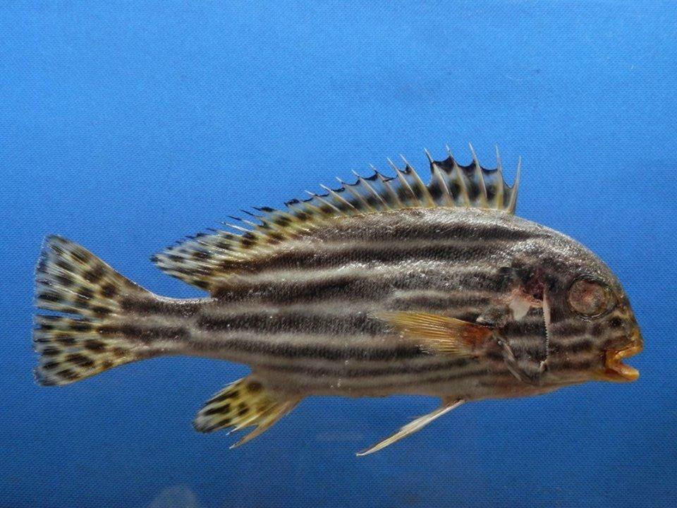 B393-64618 Orientalis Sweetlipsfish Plectorhinchus vittatus, 180mm Freeze Dried