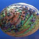 "Seashell Rainbow abalone- Haliotis iris, 5 1/4"" (132 mm)"