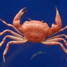64639 Crab taxidermy - Carcinoplax crosnieri c.f. , 25 mm