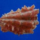 B46-43557 Seashell Cardita crassicosta, 50.7 mm