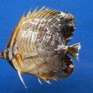 B396--64475 Eastern Triangular Butterflyfish Chaetodon baronessa, 85 mm Freeze Dried