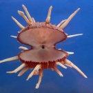 B402-64586 Seashell Spondylus regius, 135 mm