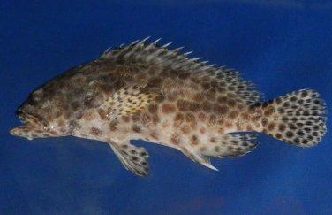 74743 Honeycomb grouper - Epinephelus merra, 133 mm Freeze Dried Taxidermy
