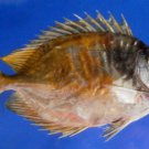 74751 Two Barred Rabbitfish - Siganus virgatus, 133 mm, Freeze Dried taxidermy