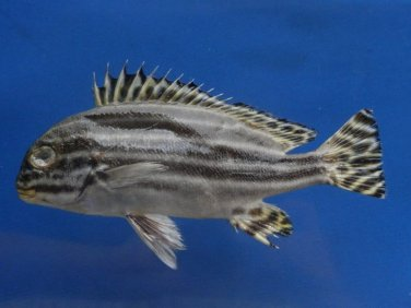 74787  Sweetlips fish - Plectorhinchus diagrammus, 170, Freeze Dried Taxidermy