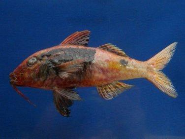 74797 Bicolor goatfish Parupeneus barberinoides, 150 mm Freeze Dried Taxidermy