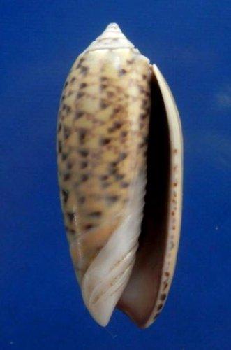 74865 Seashell Oliva oliva f. samarensis, 33 mm