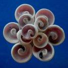 B537 Cut shells Sailors valentine Coralliophila violacea-17, 1 oz