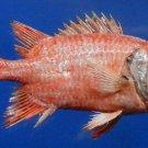 79397 Kuntee Soldierfish- Myripristis kuntee 165 mm Freeze Dried