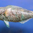 79422 Blue-barred Parrotfish Scarus ghobban 280 mm Freeze Dried Taxidermy