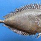 79423 Bignose Unicornfish- Naso vlamingii, 230 mm Freeze Dried Taxidermy