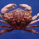 78440 Round crab - Demania cultripes, 60 mm