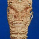 64035 Slipper Lobster - Eduarctus modestus, 37 mm