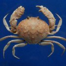 77063 Box crab - Mursia danigoi, 37 mm
